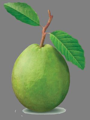 Guava300x400